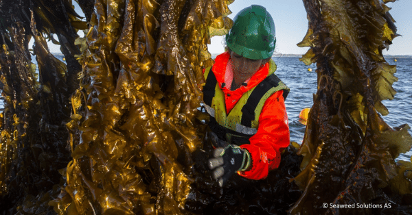 KELP IS HARVESTED OFF THE COAST OF NORWAY. PHOTO: SEAWEED SOLUTIONS A