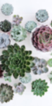 succulentos.jpg