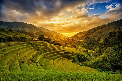 Golden Rice Fields