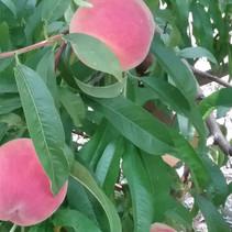 Peach tree 1