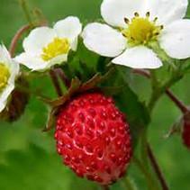 Berries - Strawberries3.jpg
