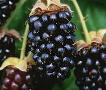 Berries - Marion.jpg