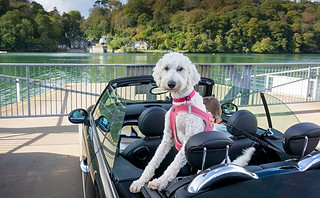 Street photography: white poodle dog in back seat of a sports car.