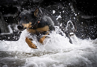 Animal photography:stunning shot of dog running in surf on the beach.