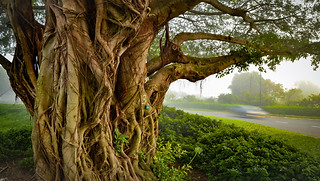 Landscape photography:magnificent tree on a misty morning.
