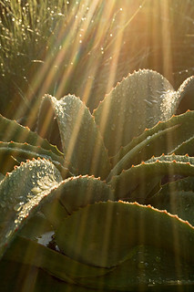 Landscape photography:close up image of aloe plant in a shaft of sunlight.