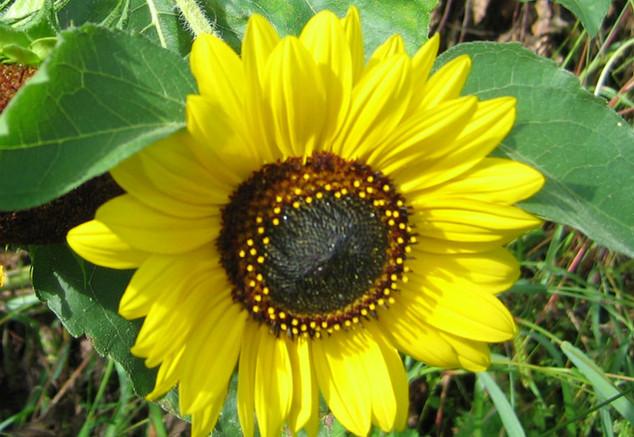 Sonnenblume im September