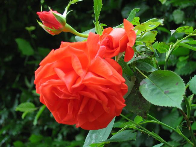 Rosenblüte Juni 2017