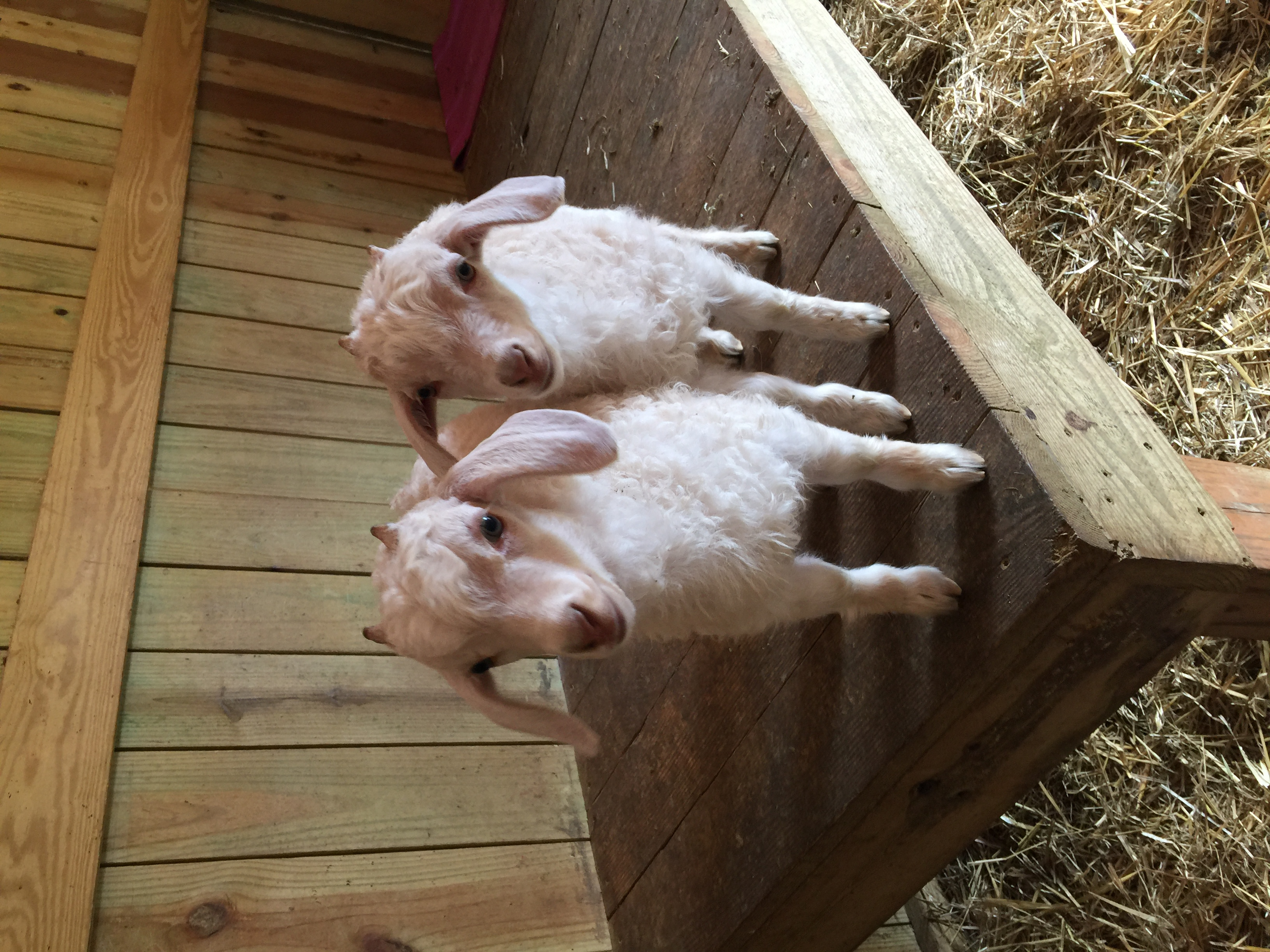 Two baby goats