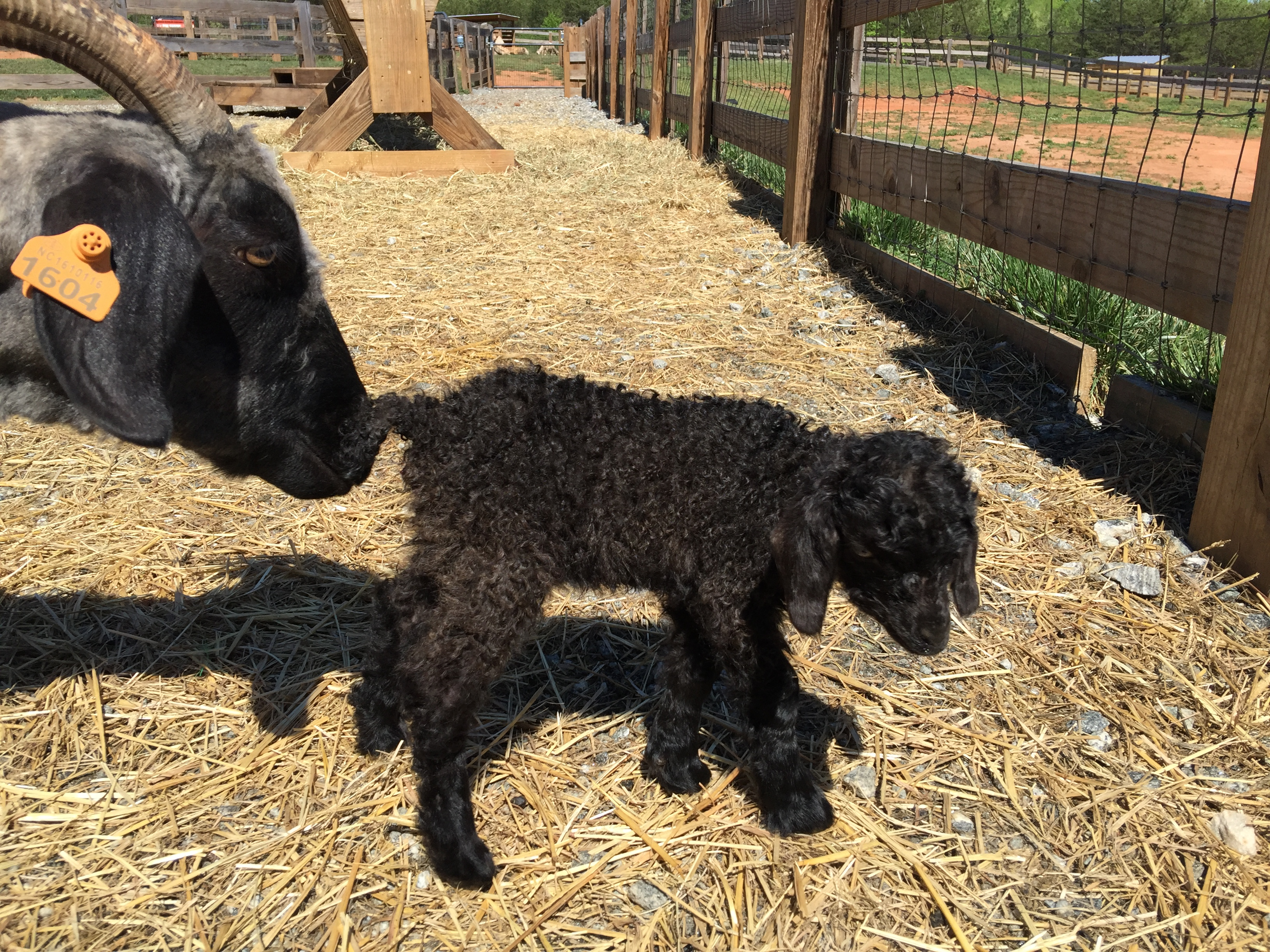 Black baby goat