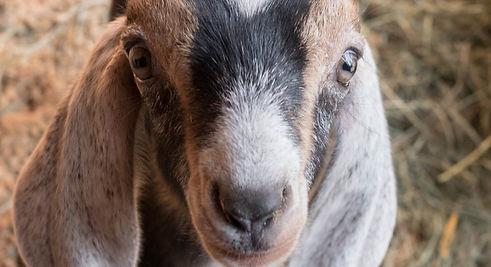 Nubian-goat-kid-1140x620.jpg