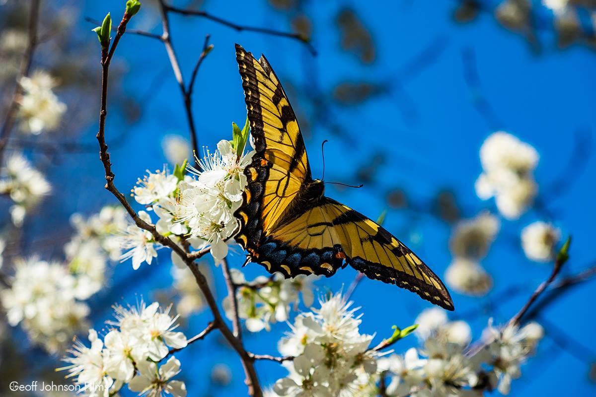 haw river butterfly