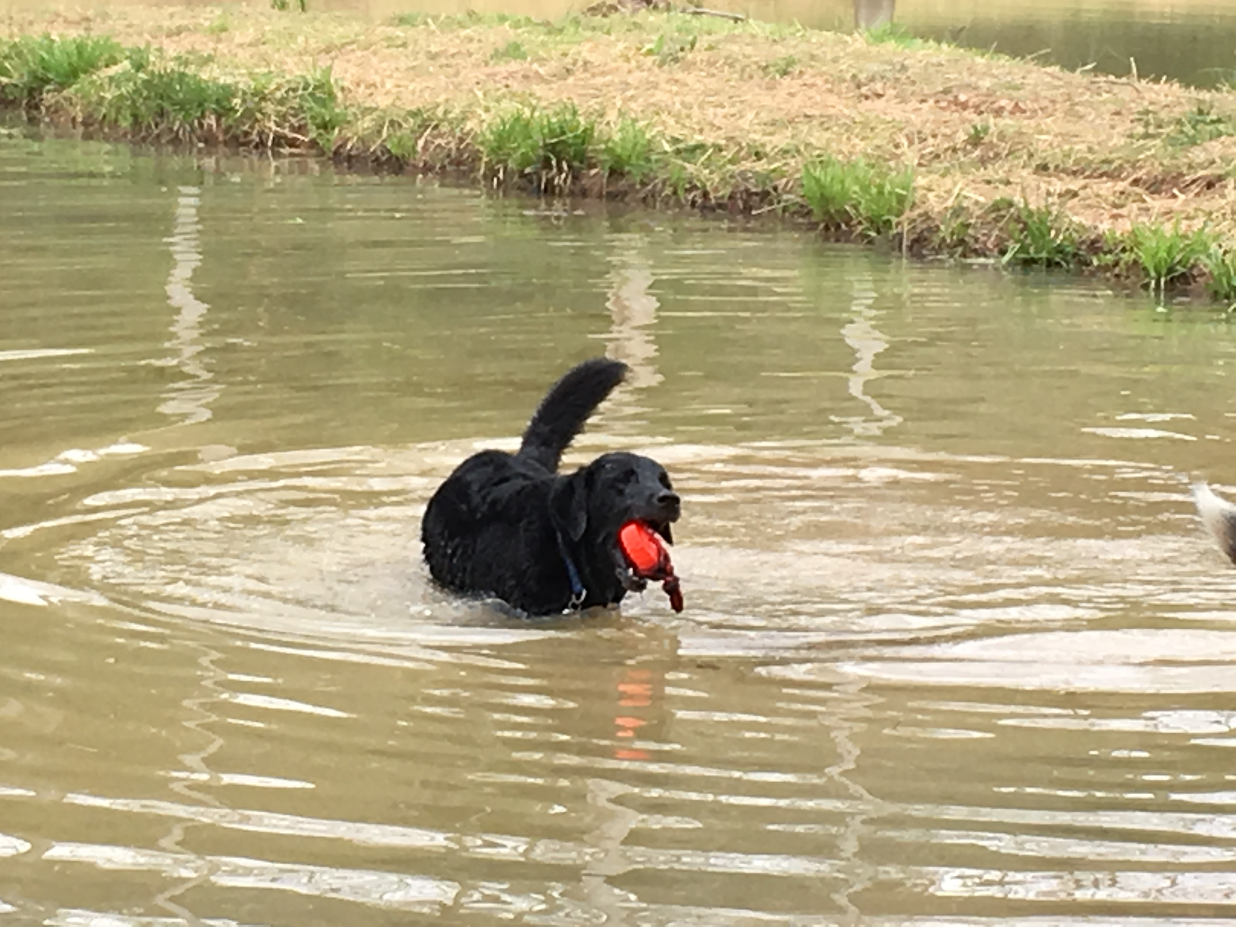 Dog chasing ball in pond