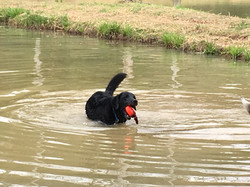 Dog chasing ball in pond