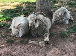Goats resting under a tree