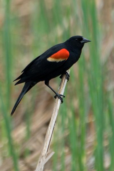 birdwatching on chinqua penn trail