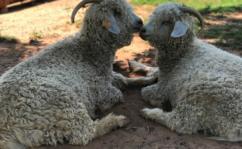Sweet Goats