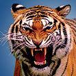 Picture of Clarksville Tiger