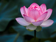 lotus-flower-828457262-5c6334b646e0fb000