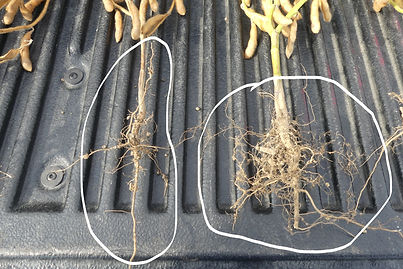 RhizoVital builds more root structure