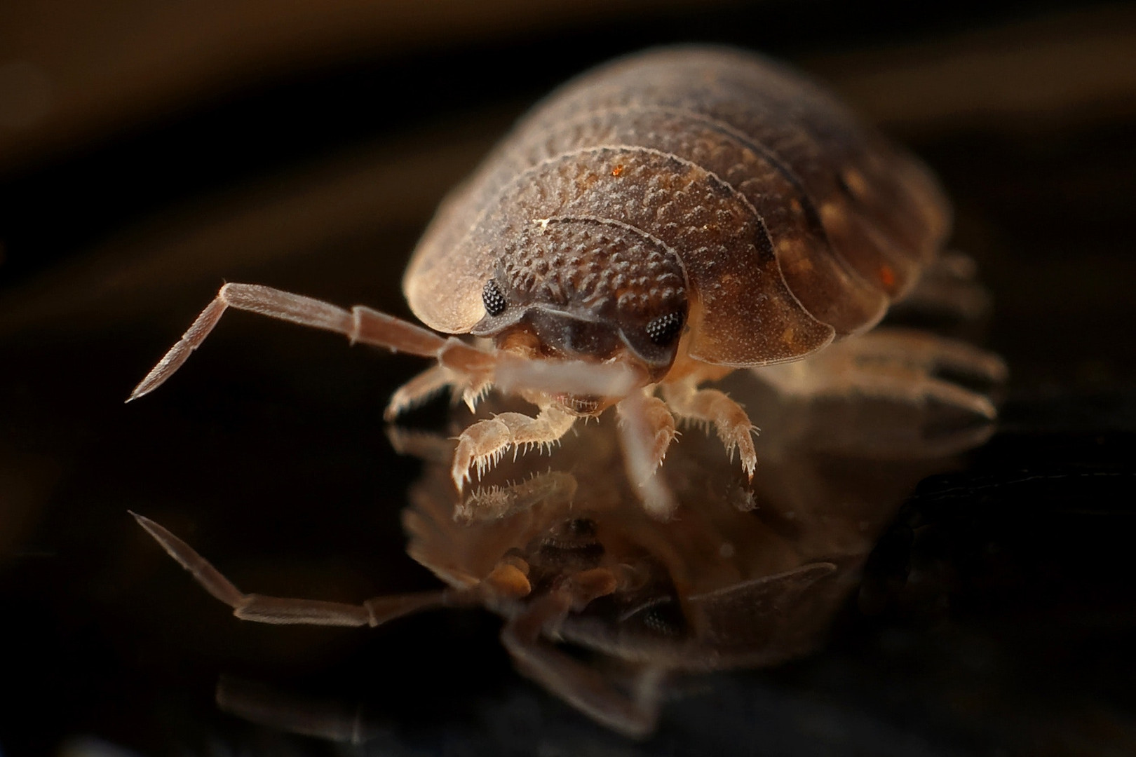 brown-8-legged-insect-on-black-surface-3
