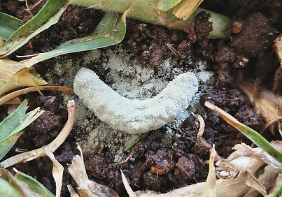 infected-african-bollworm-big.jpg