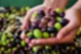 EVOO-olive-harvest-in-Italy-Shutterstock