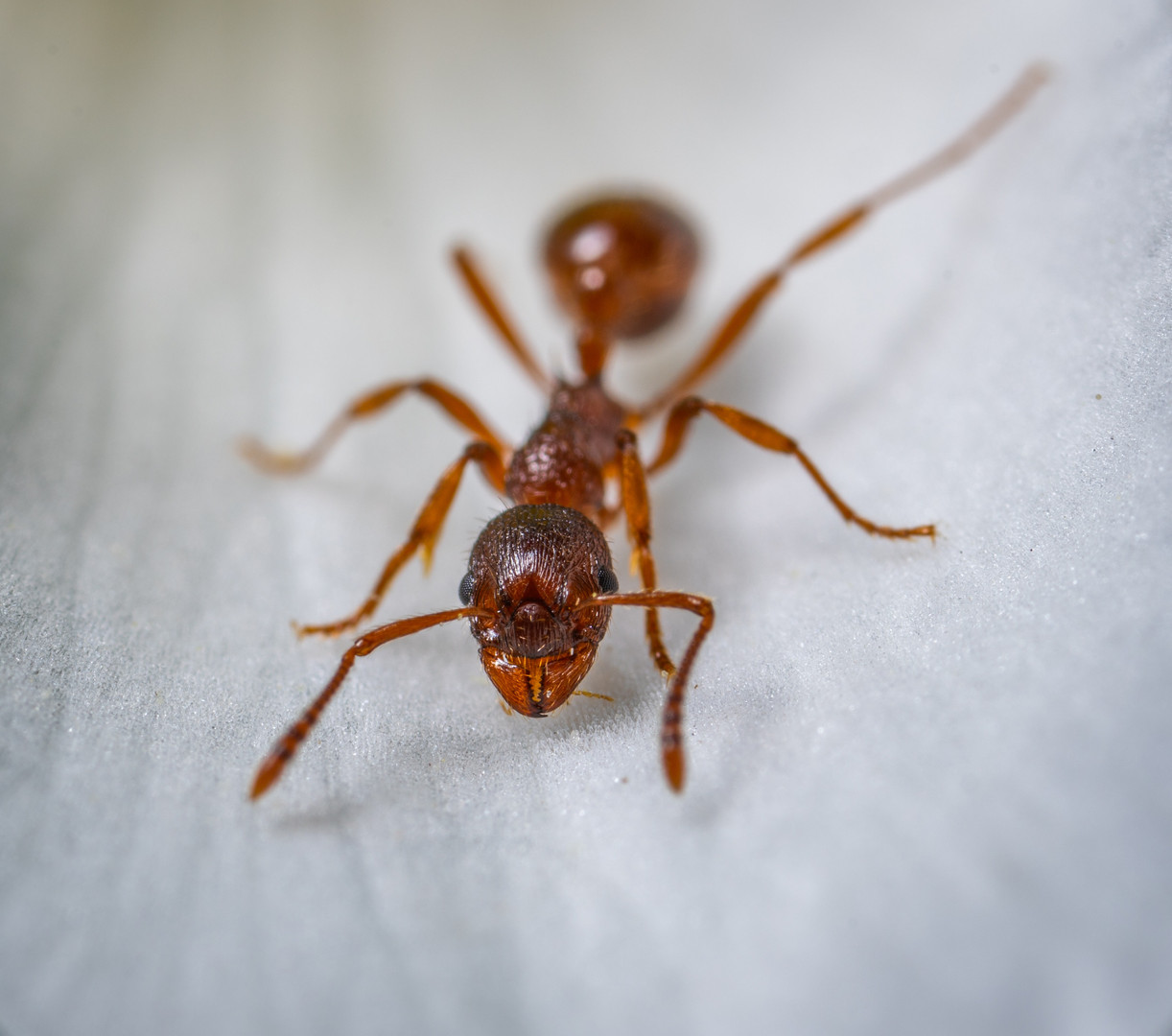 red-ant-macro-photography-1086882.jpg