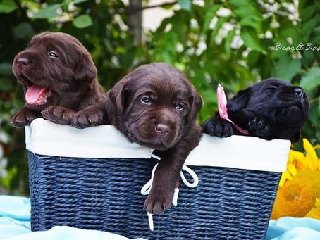 Выбор щенка лабрадора: Оценка темперамента