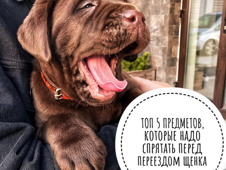 ТОП-5 Предметов, которые необходимо спрятать перед появлением щенка в доме