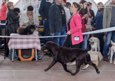 Mono-breed Dog Show 24.09.17 Tobias My Jewel Unreal Black&Chocolate - CAC, Best Chocolate Male, Best Male all colors, BOB! NDS 24.09.17 Tobias My Jewel Unreal Black&Chocolate - CAC Gorgeous boy Sheldon became Champions of Ukraine!