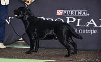International Dog Show CACIB-FCI and National Dog Show CAC-RO 15-16.11.14 Mark: BOS, CAC х 2; RCACIB; Excellent х 2 Title: Champion of Romania Judges: Luis Catalan (Portugal), Cristina Epuras (Romania)