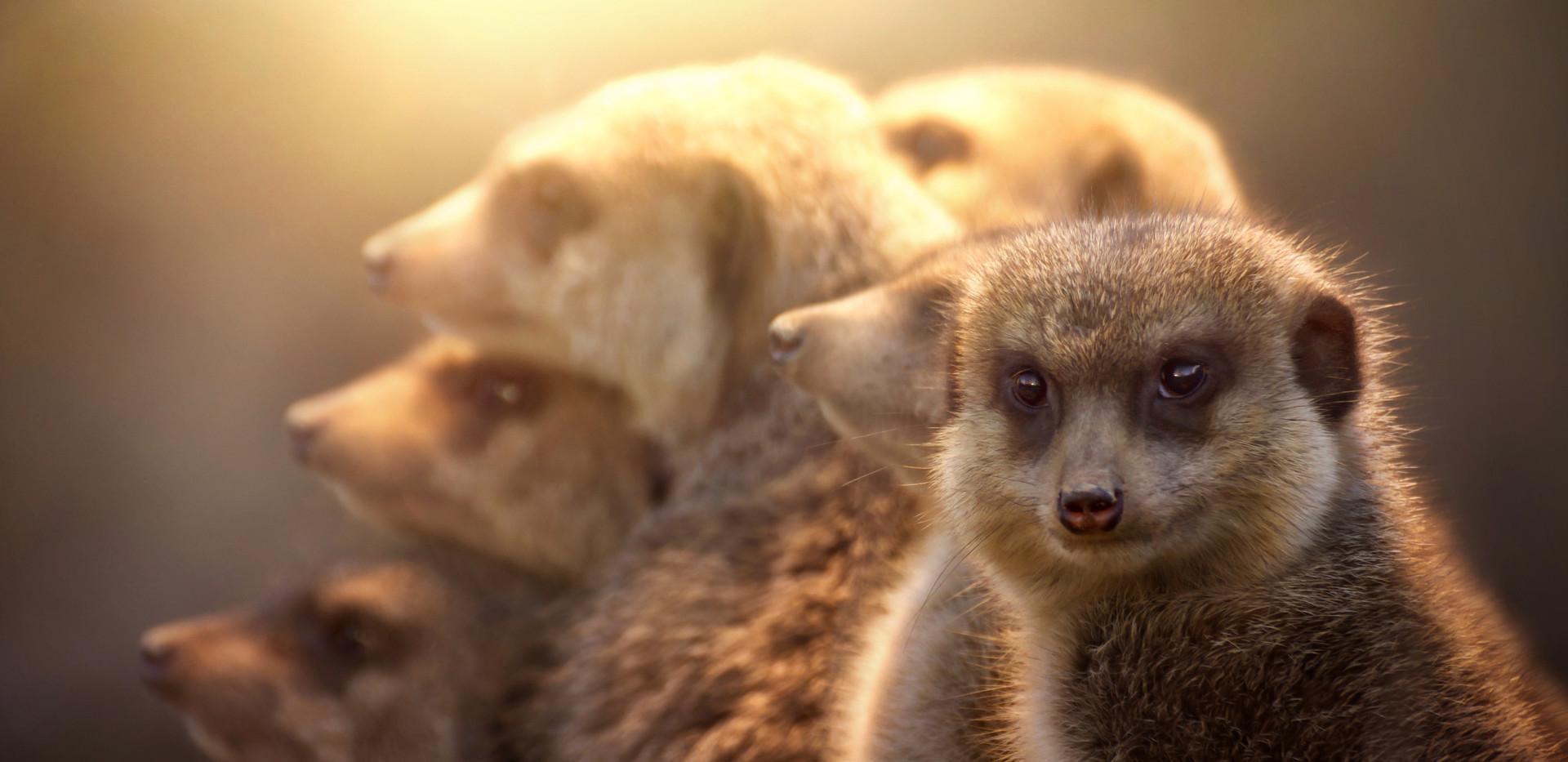 Meerkat family.jpg