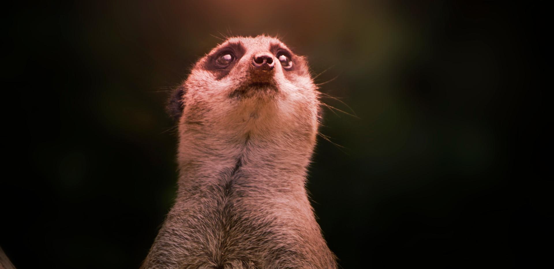 Merkat Like.jpg