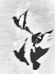 """pigeon flight"""