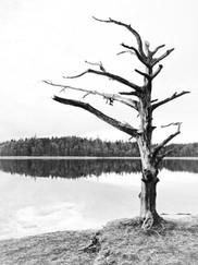 """""""dødt træ"""""""