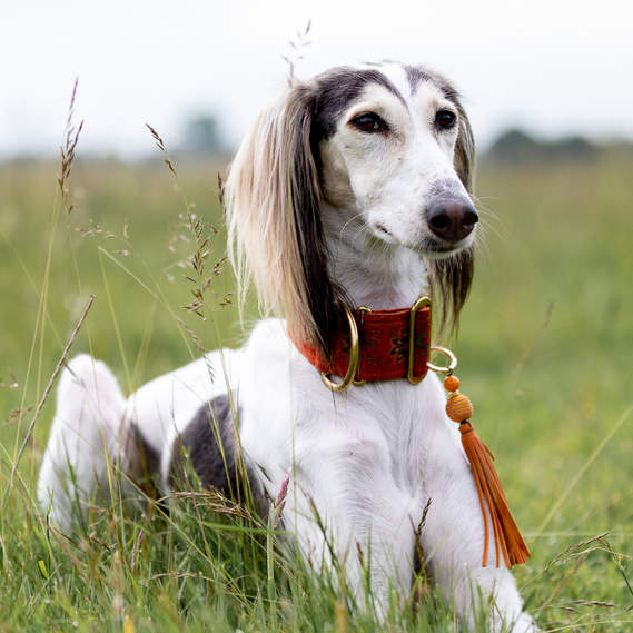 Saluki in long grass
