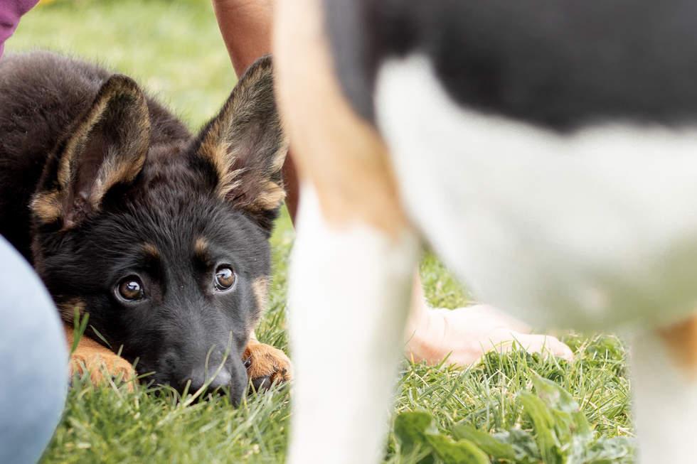 German Shepherd cute
