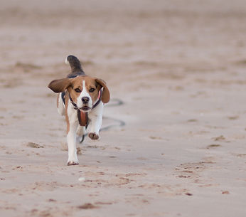 Beagle running on Beach