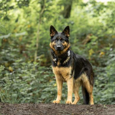 German Shepherd in the woods