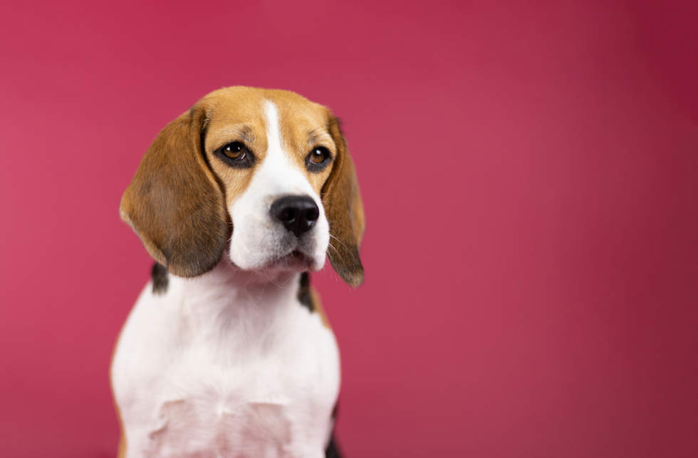 Beagle Red Background
