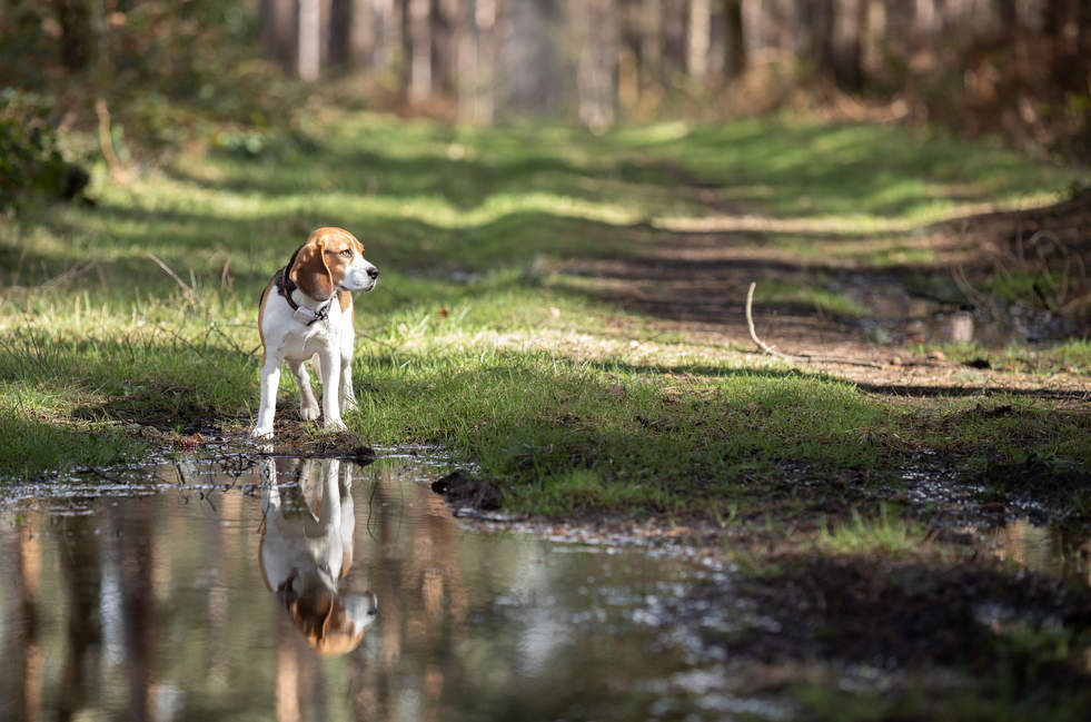 Beagle Reflection in the woods