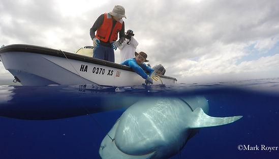 Tiger shark tagging_Hawaii.jpg