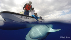 Tiger shark tagging_Hawaii