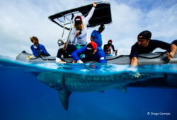 Tiger shark tagging_Bahamas2