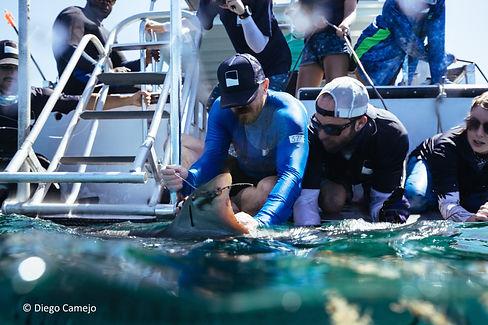 Tiger shark tagging_Bahamas.jpg
