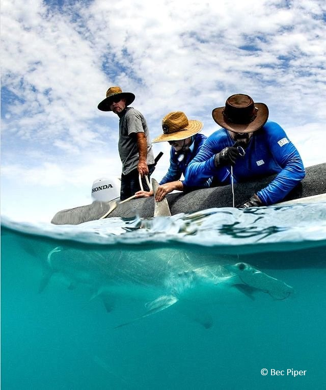 Great hammerhead shark tagging_Australia