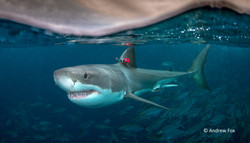 Great white shark tagged_Australia