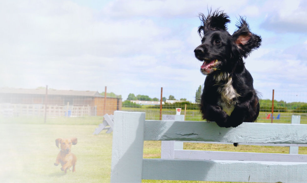 Dog jumping over the agility course at York Dog Park