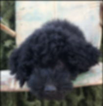Rainbows End Puppies - Lacie (1).png